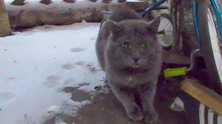 Сумасшедший сиамский кот против британского