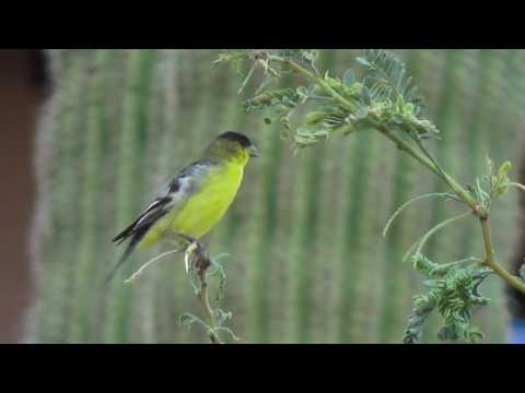 Lesser Goldfinch Call