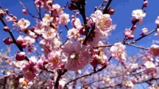 吉野梅郷 Garden of plum tree 青梅観光 花見頃 梅の名所 懐かしい風景