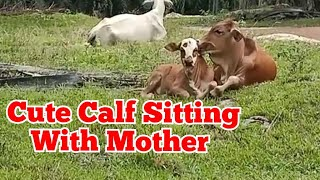 A Tame Cute Calf Sitting With Its Loving Mother