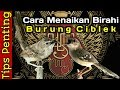 Menaikan Birahi Ciblek Tips Penting  Mp3 - Mp4 Download
