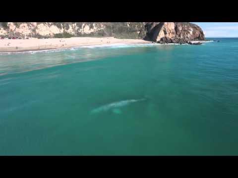 gray whale zuma beach