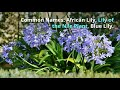 Agapanthus Growing Guide