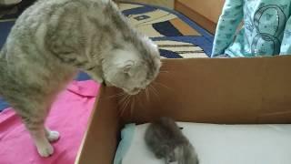 КОШКА МАМА УХАЖИВАЕТ ЗА КОТЯТАМИ 😻 МИЛЫМ КОТЯТАМ 2 НЕДЕЛИ 🐱 Meowing Kitten Cat Мяуканье котят