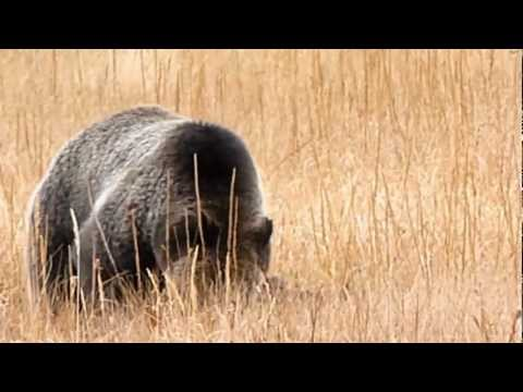 Yellowstone Grizzly Bear Video