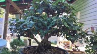 Ivy Bonsai Sept. 2013