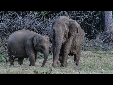 Elephant mom with a broken leg protects her baby with life