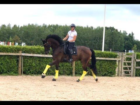 Steady Schoolmaster / SimbergSporthorses