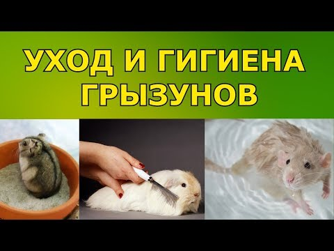 Уход и гигиена грызунов (шиншиллы, хомяки, крысы, кролики и другие)