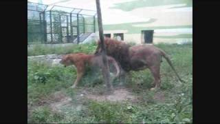 lions mating  at the zoo