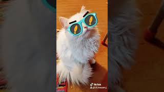 Persian kittens despacito song🥰🤣