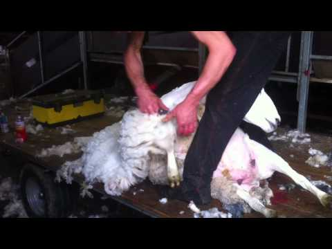 Sheep Shearing, Sewthwit, Lske District, 22 7 12