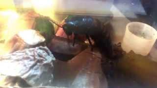 Мадагаскарский таракан кушает