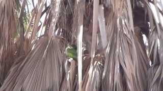 Зеленые попугаи в Испании на пальмах живут круглый год(Недвижимость в Испании, фото и видео, достопримечательности, отели, погода http://espana-live.com/ http://www.BFoto.ru/fotograf_spain.p..., 2013-10-10T18:13:39.000Z)