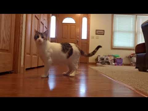 Sophie the cat playing with bouncing super balls