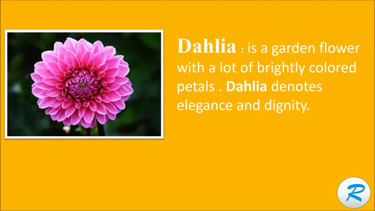 How to pronounce dahlia dahlia pronunciation dahlia meaning how to pronounce dahlia dahlia pronunciation dahlia meaning izmirmasajfo