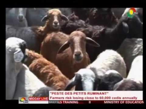 Livestock farmers risk losing close to 60,000 cedis annually - 20/8/2016