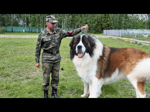 Moscow Watchdog - Gentle Giant and Powerful Protector