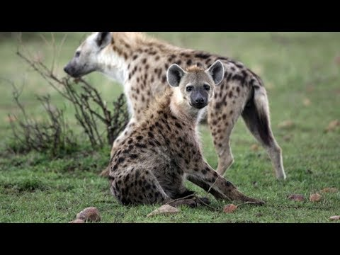 HYENA REMEMBERS OWNER AFTER 7 YEARS!