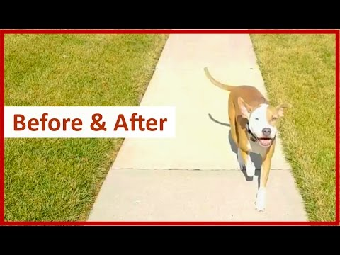BEFORE & AFTER: Columbus Ohio Dog Training with Terry Cook & Nixon the American Pit Bull Terrier