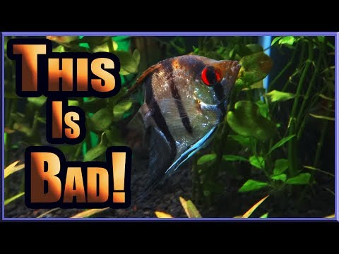 Angelfish Can Be Brutal To Each Other...