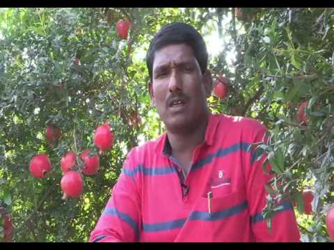 22 tones Pomegranate crop per acre