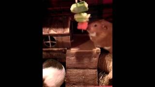 Guinea pigs eating veg