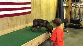 "German Shepherd Puppy ""odett"" 8 Weeks Old Early Play Training And Socilization"