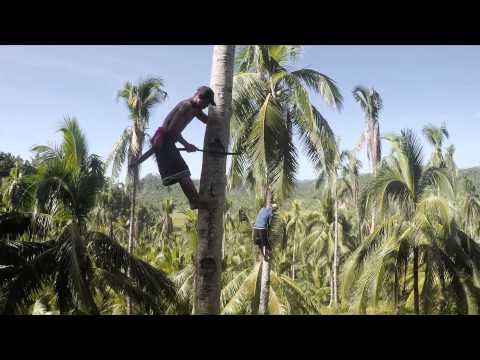 Drone shows how scary coconut farming is!