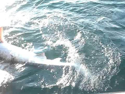 Naples Tiger Shark.MPG
