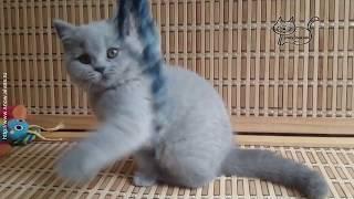 Британская плюшевая кошечка Yumi.