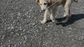アフガンハウンド子犬!!<子犬の利根リバーサイド・http://www.tone-r...