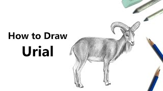 How to Draw a Urial with Pencils [Time Lapse]