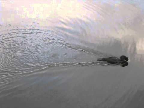 Australian Musk Duck