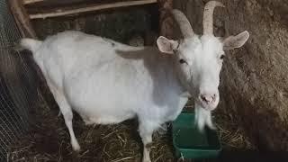 ✔Тёлка и козы//видео по заявке//жизнь одесситов в деревне