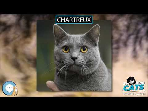 Chartreux 🐱🦁🐯 EVERYTHING CATS 🐯🦁🐱