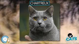 Chartreux  EVERYTHING CATS