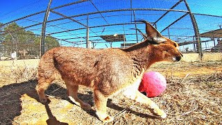 Caracal Plays Follow The Leader | African Cat Walked Like A Dog | Plays Red Light Green Light