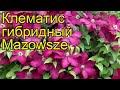 Клематис гибридный Мазовше. Краткий обзор, описание характеристик clematis Mazowsze