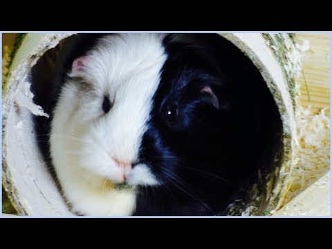 7 Super Interesting Fun Facts About Guinea Pigs