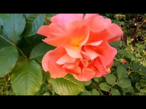 КОРАЛЛОВЫЕ ПЕРСИКОВЫЕ РОЗЫ: кусты оранжевые розы видео 2019 orange rose