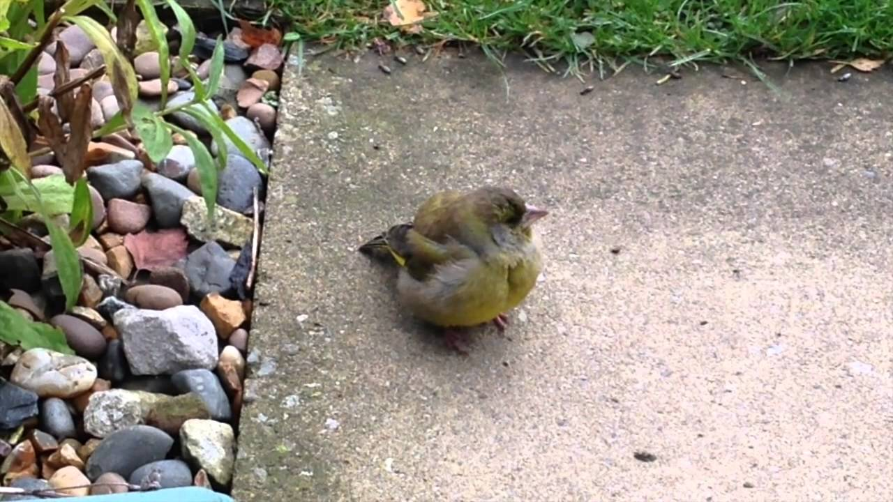 "Greenfinches & ""Fat finch"" disease (Trichomonosis"