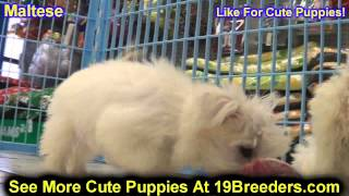 Maltese, Puppies, For, Sale In Toronto, Canada, Cities, Montreal, Vancouver, Calgary