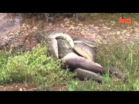 Anaconda telan buaya - YouTube