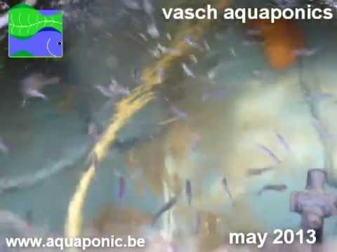 Vasch Aquaponics spring 2013 update