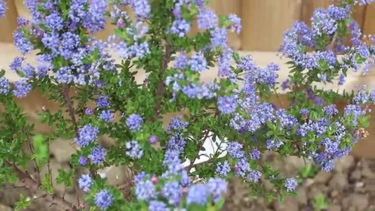 Ceanothus shrub with blue flower blossom youtube ceanothus shrub with blue flower blossom izmirmasajfo