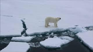 Белый медведь у острова Рудольфа