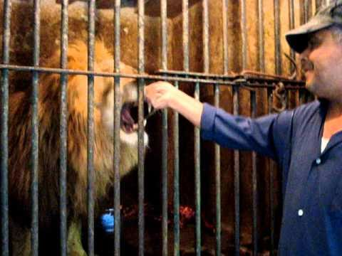 Zoo keeper mistreating caged lion in Tunisian zoo - animal cruelty.MPG