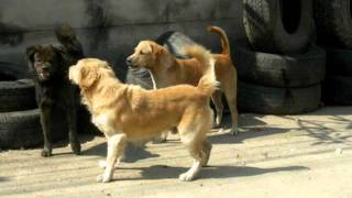 Dog Fights thailand