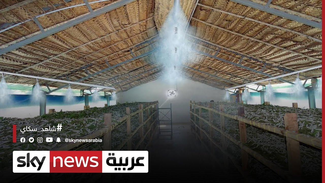 مهندسون يطورون أدوات تربية دودة القز لإنتاج الحرير بمصر | #مراسلو_سكاي  - 13:55-2021 / 10 / 13